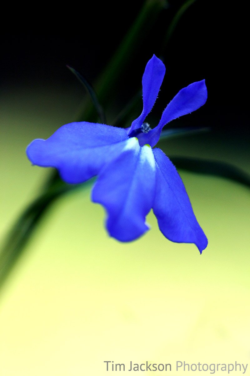 Blue Lobelia Photograph by Tim Jackson