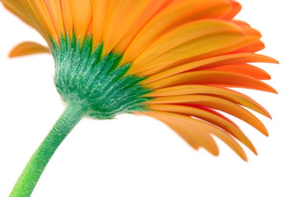 The relaunch of iBox Photography Orange Gerbera Daisy Photograph by Tim Jackson