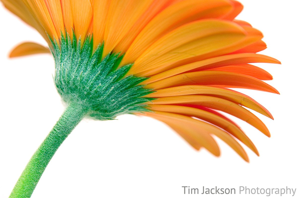 The relaunch of iBox Photography Orange Gerbera Daisy Photograph by Tim Jackson