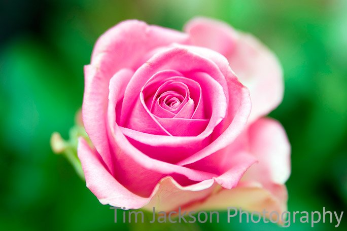 Pink Rose Photograph by Tim Jackson