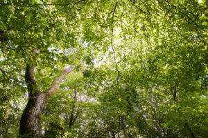 Image of sunlight through a woodland canopy.