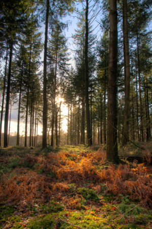 Late Afternoon Sun New Forest Fritham Amberwood Inclosure