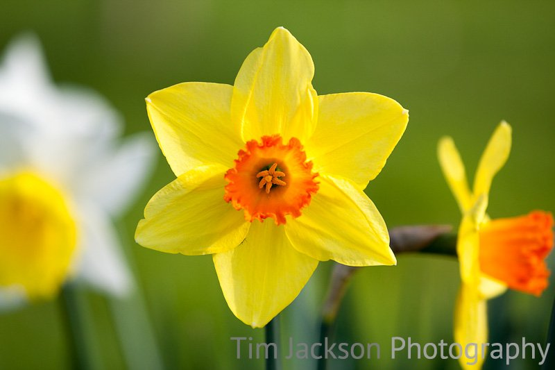 Daffodil Photograph by Tim Jackson