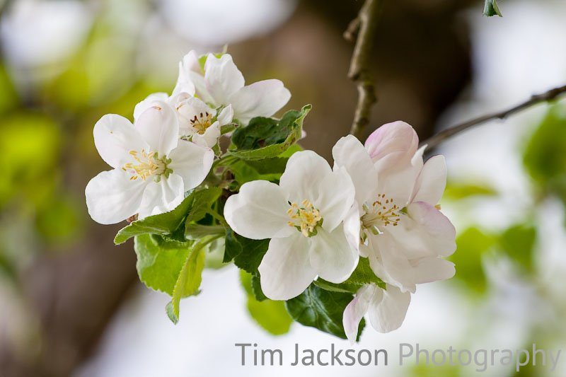 Apple Blossom Apple Blossom Photograph by Tim Jackson