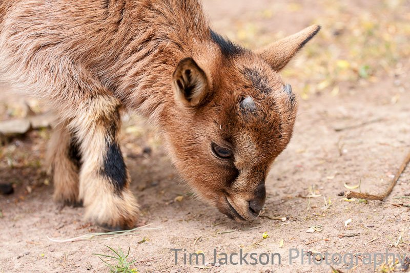 Baby Goat Photograph by Tim Jackson