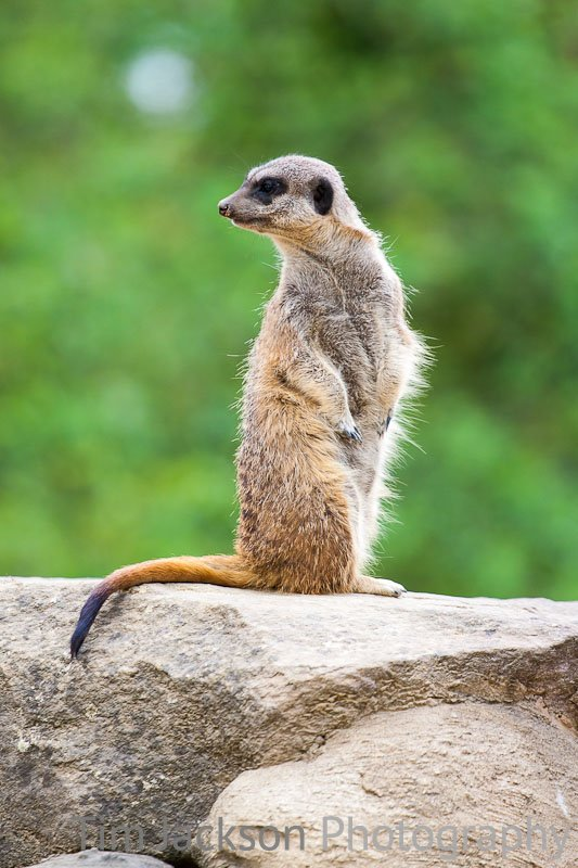 Meerkat Lookout Photograph by Tim Jackson