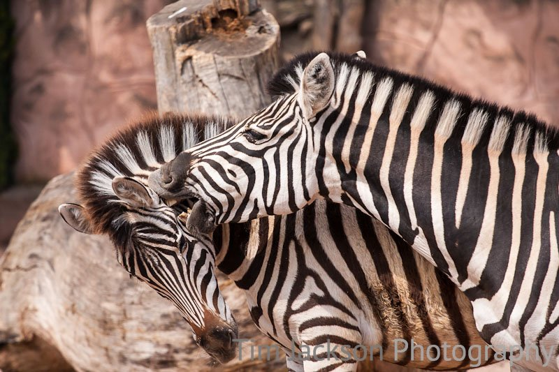 Zebra Lovebite Photograph by Tim Jackson