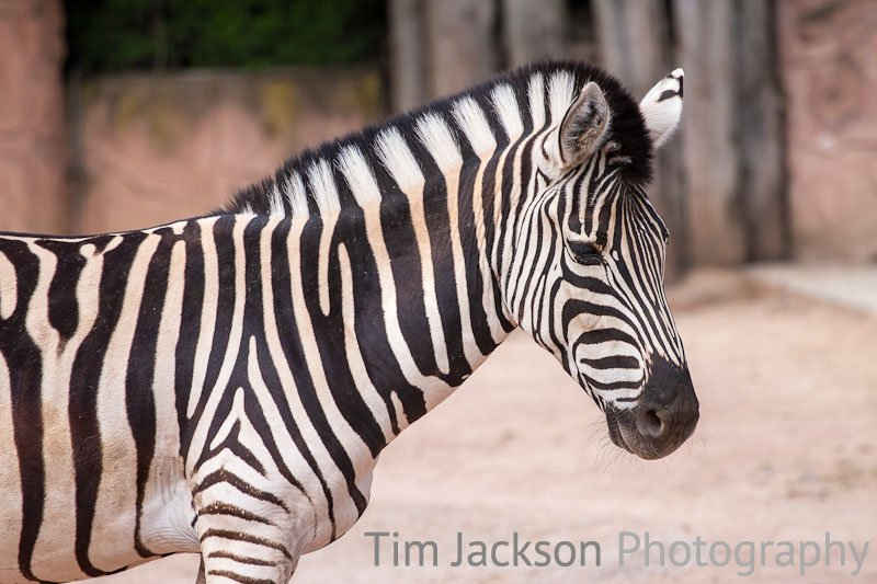 Zebra Photograph by Tim Jackson