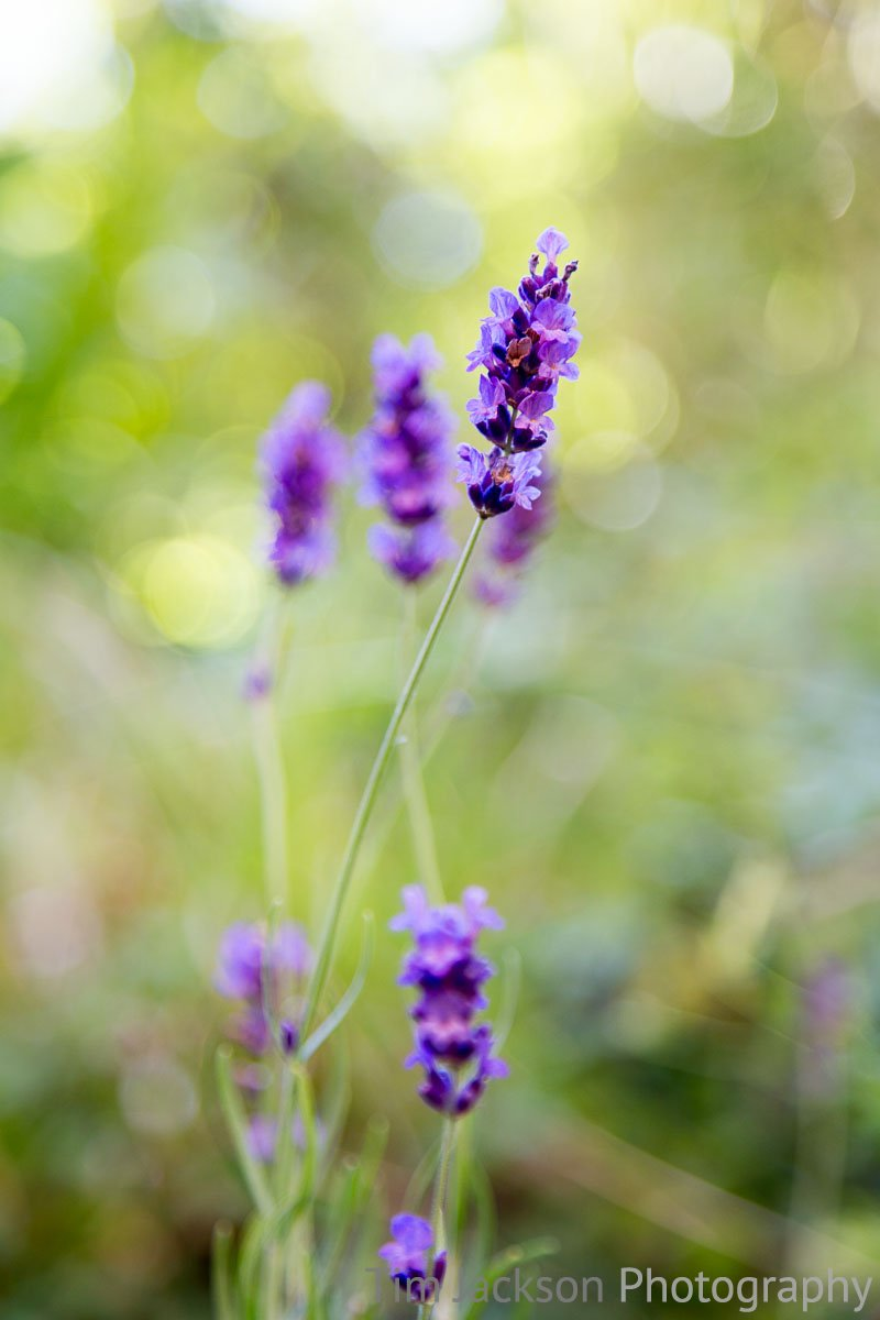 Fragrant Lavender Lavender Photograph by Tim Jackson