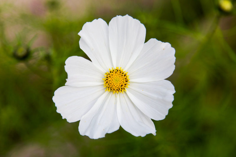 Cosmos Purity Cosmos Purity Photograph by Tim Jackson