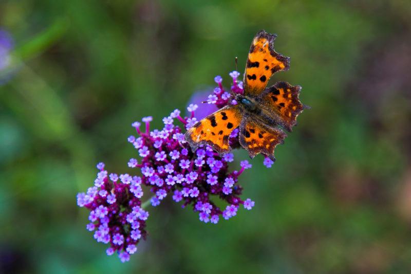 Verbena Butterfly Verbena Butterfly Photograph by Tim Jackson
