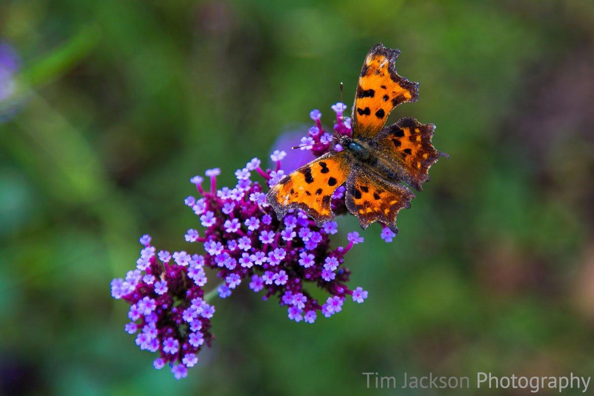 Verbena Butterfly