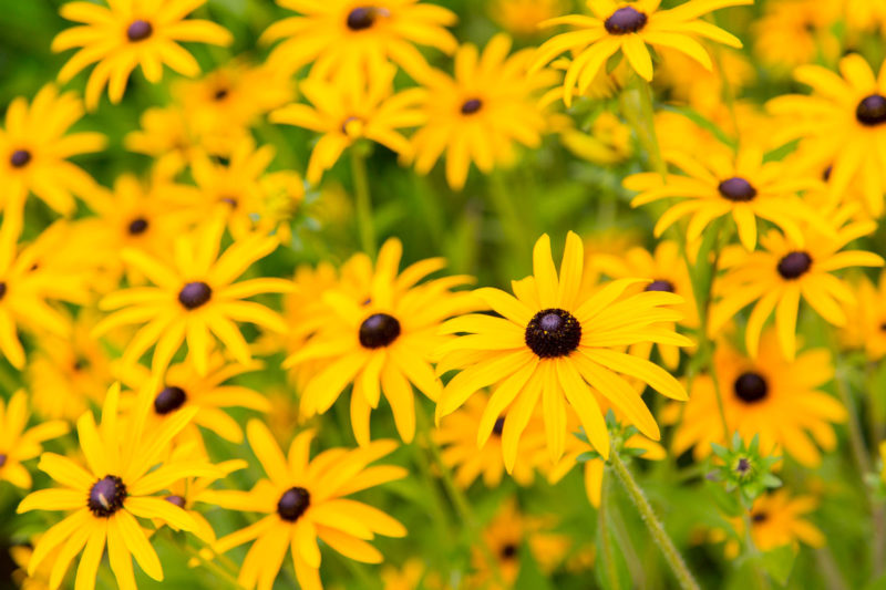 Yellow Daisy (Rudbeckia) Yellow Daisy Rudbeckia Photograph by Tim Jackson