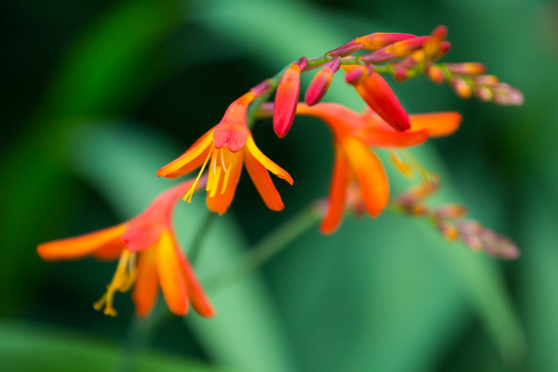 Crocosmia Crocosmia Photograph by Tim Jackson