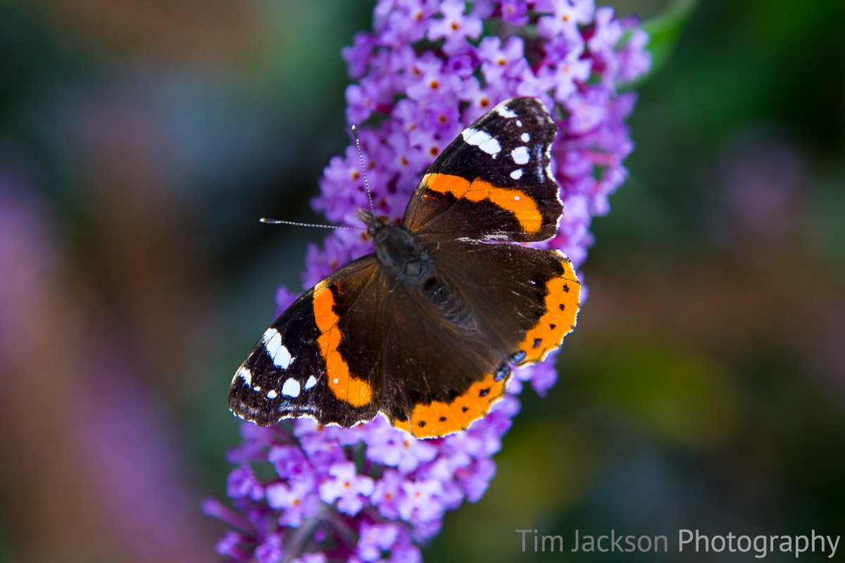 Butterfly Bush Butterfly Bush Photograph by Tim Jackson