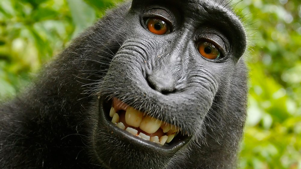 Infinite Monkeys with Cameras Monkey Selfie Photograph by Tim Jackson