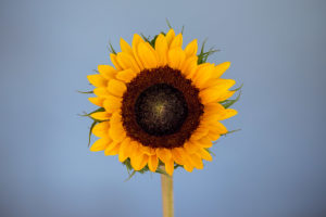 Latest Work Sunflower Photograph by Tim Jackson