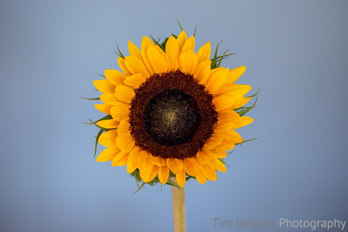 Sunflower Sunflower Photograph by Tim Jackson