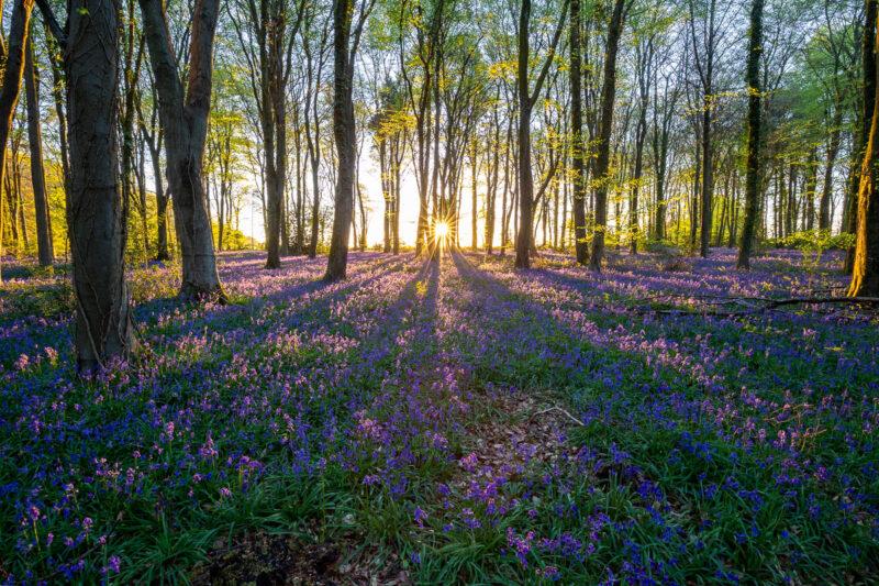 Parnholt Wood Bluebells Sunrise